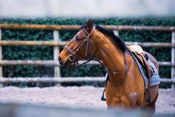 Portrait cheval en dressage