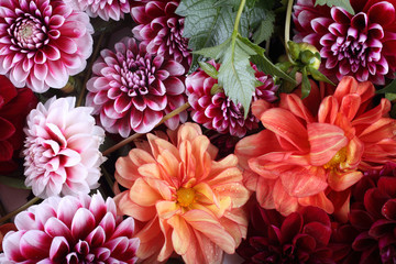 Keuken foto achterwand Dahlia Dahlia flowers background. Different dahlia varieties - orange, red and bicolor