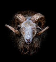 Deurstickers Schapen Ram with big and curved horns on a black background