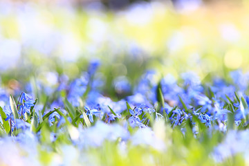 wild blue spring flowers, wildflowers small flowers, blurred abstract background many flowers Fotobehang