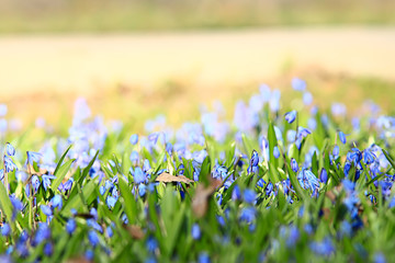 Garden Poster Spring wild blue spring flowers, wildflowers small flowers, blurred abstract background many flowers