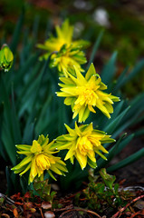 Yellow daffodil (narcissus) flowers on spring day, vertical photo. Close up bunch Narcissus flowers on green leaves background. Yellow narcis (daffodil) bouquet grow in narcissus garden. May daffodil