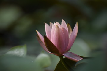 Foto auf AluDibond Lotosblume Nature with beautiful pink lotus flower