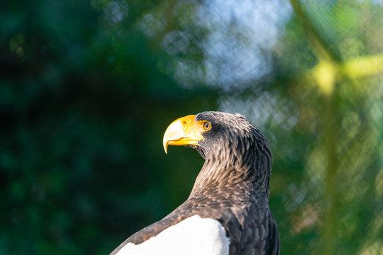 portrait of an stellar sea eagle