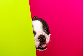 The head of a young funny dog of the Boston Terrier breed looks out between colored papers.