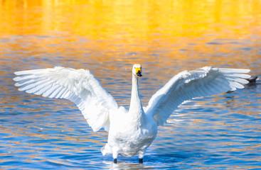 Foto op Canvas Zwaan 羽を広げた白鳥