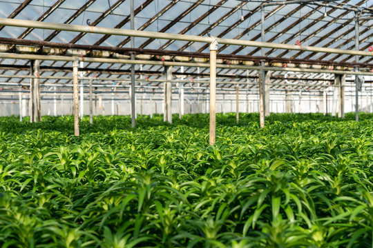 Rows of Easter Lily plants growing inside a greenhouse. Wholesale plant grower raising plants to be sold in the summer.