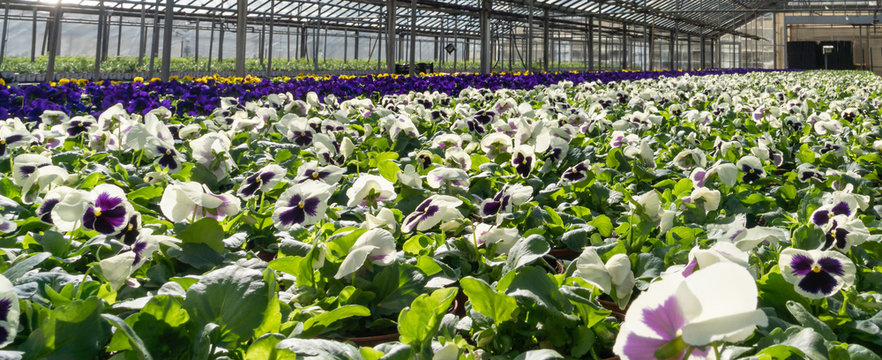 Interior of a greenhouse growing rows of pansies. White, purple and yellow flowers grow indoors, ready for spring planting.