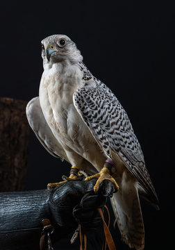 A Gyrfalcon, Falco rusticolus, white morph or phase, sitting on a gloved hand.  The injured bird of prey is being cared for by a rescue group.