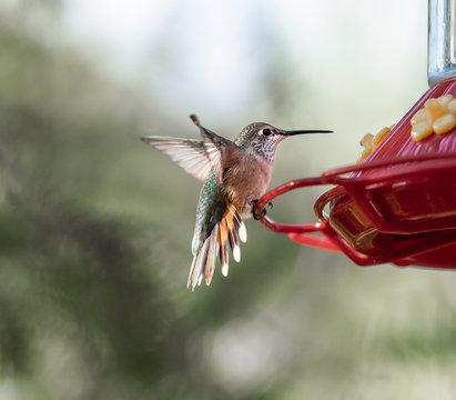 A green and orange Rufous Hummingbird landing on a bright red humming bird feeder