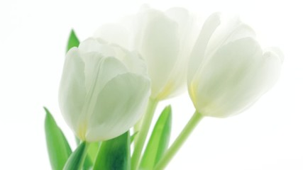 Fotoväggar - Tulips. Timelapse of white tulips flower blooming, isolated on white background. Time lapse tulip bunch of spring Easter flowers opening, close-up. Holiday bouquet. 4K UHD video