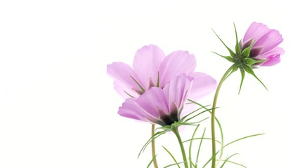 Fotoväggar - Cosmos flowers open closeup. Timelapse of bright pink colorful Cosmos summer flower blooming over white background. Time lapse of spring bunch flowers opening, close-up. Holiday Easter bouquet