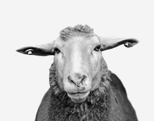 Foto op Canvas Schapen Black and white farm sheep with tagged ears looks straight ahead. Minimalist monochrome sheep portrait close up