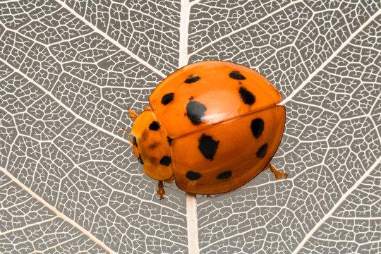 Close-up of a ladybug on a leaf, Indonesia