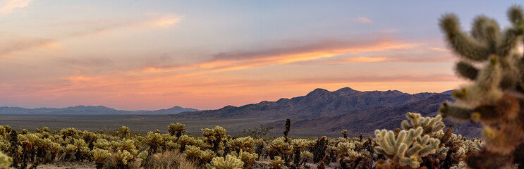 Aluminium Prints Salmon Cholla Cactus Garden Sunset in Joshua Tree National Park