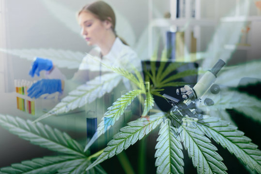Female scientist research conduct experiments cannabis CBD oil hemp products in lab with marijuana leaves - Chemist working on cannabis extract for medical healthcare natural herb research hemp plant