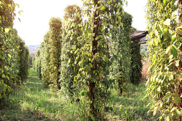 Black pepper on an agricultural plantation, Cambodia Fototapete