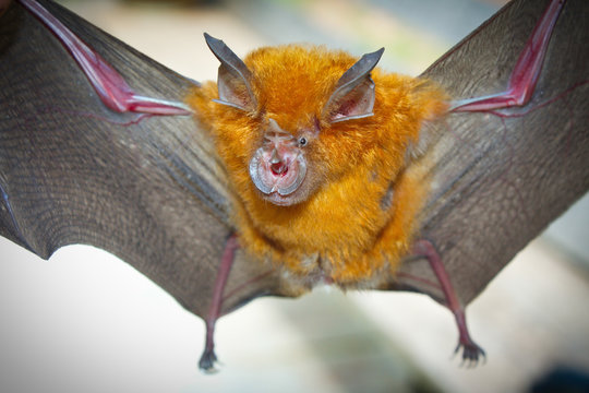 Intermediate Horseshoe Bat (Rhinolophus affinis).