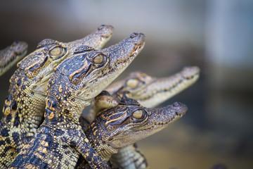 Baby crocodiles. Hybrid crocodile.