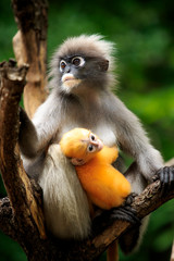 Papiers peints Singe dusky leaf monkey in thailand national park