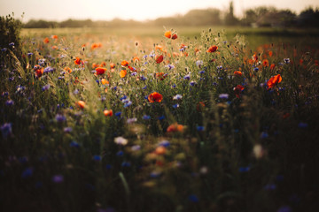 Poppy and cornflowers in sunset light in summer meadow. Atmospheric beautiful moment. Copy space. Wildflowers in warm light, flowers in countryside. Rural simple life