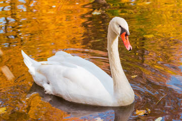 Foto op Aluminium Zwaan White swan on a pond with fall foliage reflection