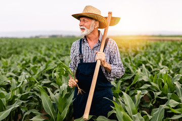 Sixty years old beard farmer working in his corn cultivation field. Fotomurales