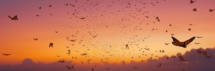 swarm of monarch butterflies, Danaus plexippus group during sunset