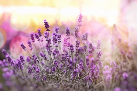 Selective and soft focus on lavender, lavender flowers lit by sunlight in flowerbad