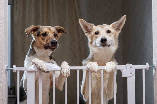 Cute dogs standing near safety gate in apartment