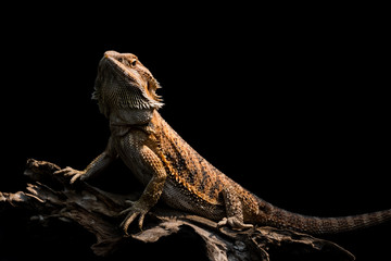 male bearded dragon Orange color sitting on a wooden branch on black background, studio Close Up Macro