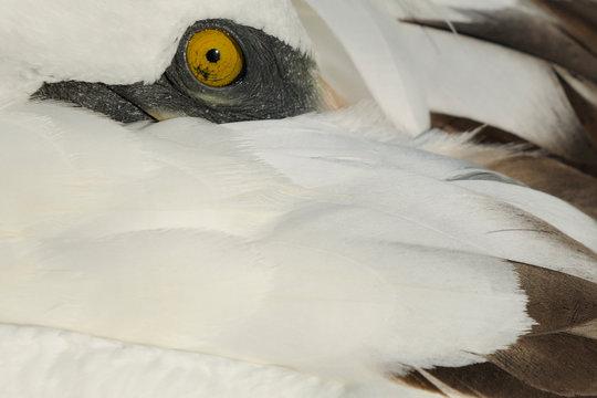 Close up of a Masked Booby bird