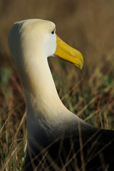 Waved Galapagos Albatross close up of the head