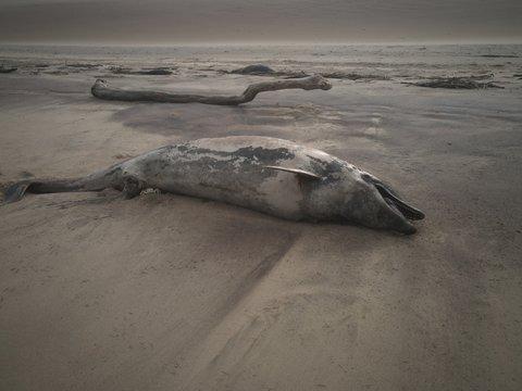 Dead dolphin in the desert