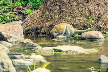 Vervet Monkey drinking water