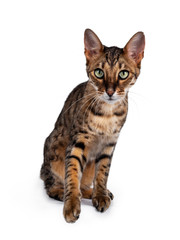 Wall Mural - Cute F6 Savannah cat sitting up straight facing front. Looking at camera with green eyes and  one paw lifted.. Isolated on white background.