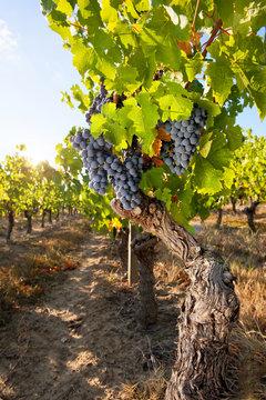 Grappe de raisin noir dans les vigne en été.