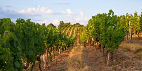 Fotorollo Weinberg Vigne dans un vignoble en Anjou, France.