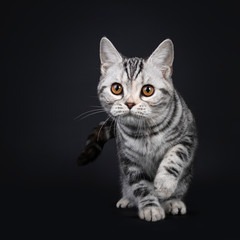 Wall Mural - Cute silver tortie American Shorthair cat kitten, moving / walking towards viewer. Looking at camera with orange eyes, one paw playful in air. Isolated on black background.