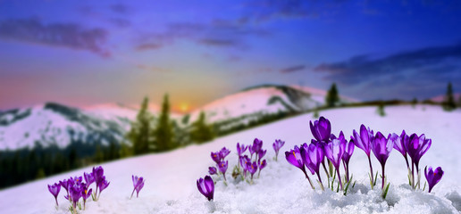Stores à enrouleur Lilas Spring landscape rising sun and blooming flowers violet crocuses ( Crocus heuffelianus ) on glade in mountains covered of snow. Carpathian mountains