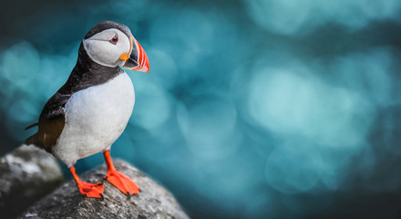 Foto auf Acrylglas Vogel Atlantic Puffins bird or common Puffin in ocean blue background. Fratercula arctica. Norway most popular birds.