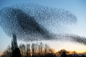 Printed roller blinds Bird Beautiful large flock of starlings. A flock of starlings birds fly in the Netherlands. During January and February, hundreds of thousands of starlings gathered in huge clouds.