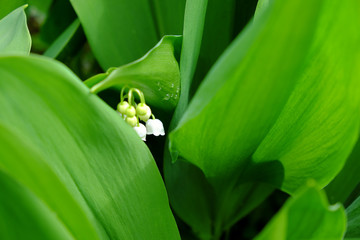 Wall Murals Lily of the valley Drops of dew on the leaves of a lily of the valley flower.