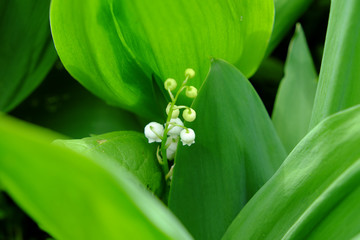 Photo sur Aluminium Muguet de mai Drops of dew on the leaves of a lily of the valley flower.