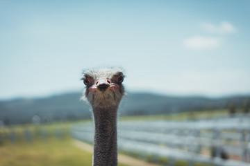 Poster Struisvogel portrait of a ostrich