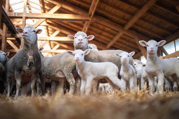 Deurstickers Schapen Group of sheep and lamb domestic animals in wooden barn at the farm. Sheep family.
