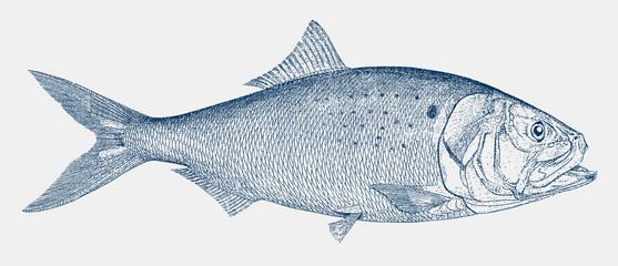 Atlantic menhaden, brevoortia tyrannus, a fish from the north atlantic coastal waters in side view Fototapete