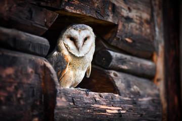 Beautiful barn owl sitting on old wood.