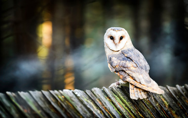 Beautiful barn owl bird in natural habitat sitting on old wooden roof