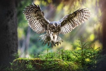 Tawny owl in flight (strix aluco), Action flying scene from the deep dark forest with common owls. Fototapete